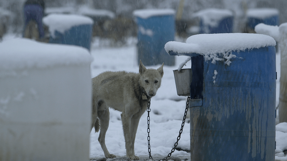 Image result for What Happens to Dogs at the Deadly Iditarod Will Leave You Outraged