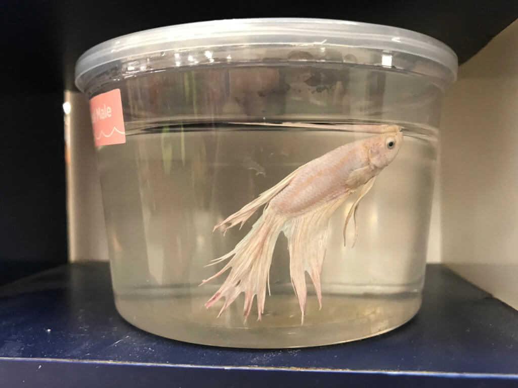 never buy animals like betta fish as pets - here's why