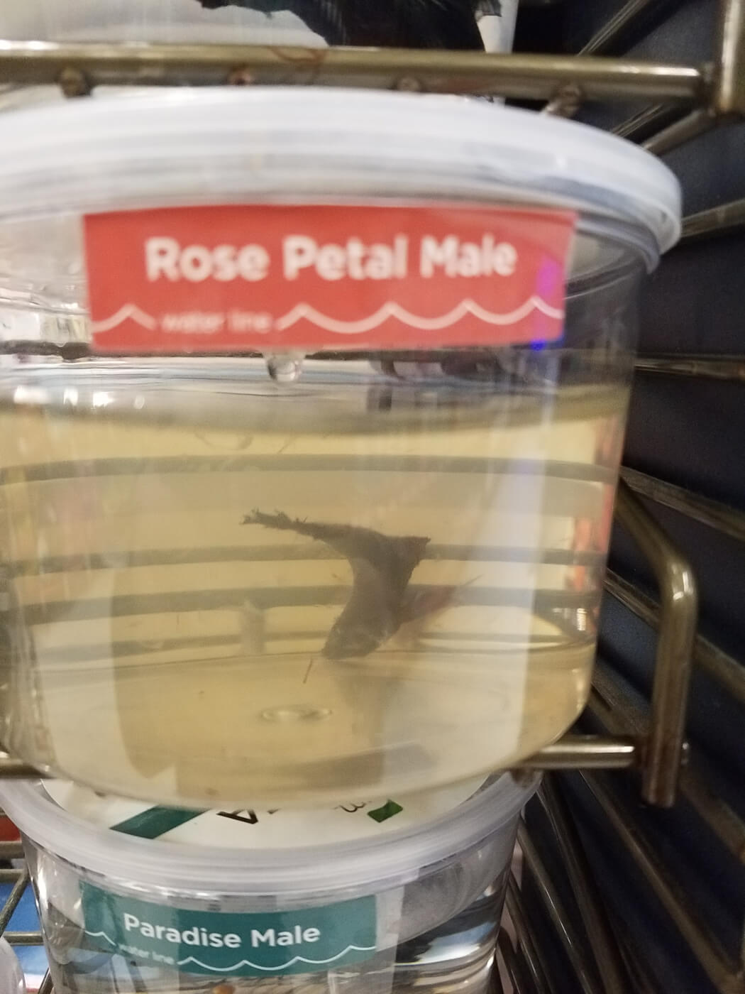 Betta Fish Are Suffering by the Millions   Take Action Today - PETA