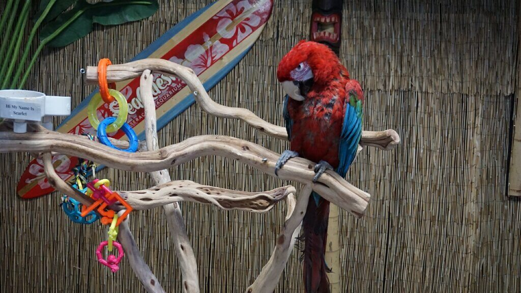 scarlet macaw in captivity
