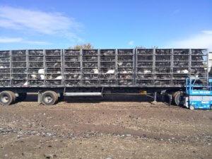 a trailer full of turkeys headed for slaughter