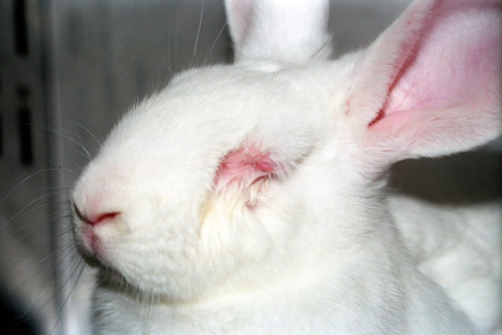 a rabbit used in experiments