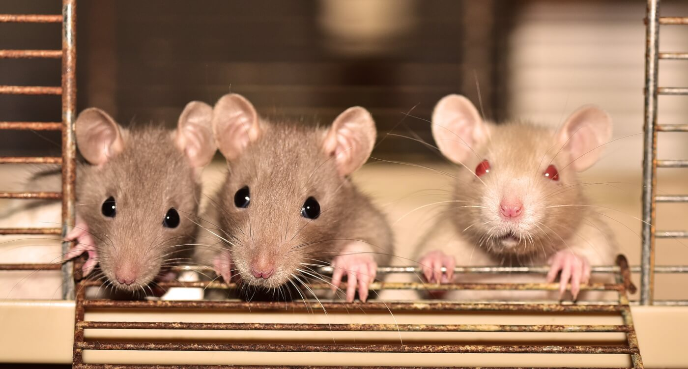 three rats in a cage stare at camera
