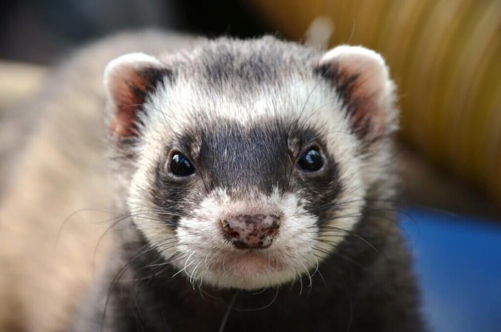 never-buy-animals-ferrets-for-sale-as-pets
