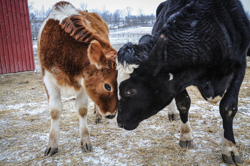 two cows head to head