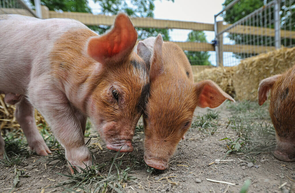 two piglets at sanctuary